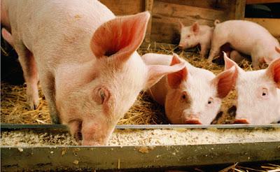 11 provincias del país se detectó la enfermedad que afecta a los cerdos   @EntreJerez