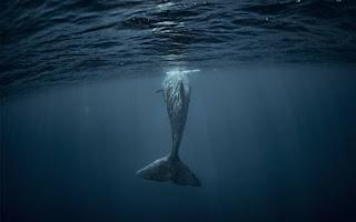 Φάλαινα βρέθηκε νεκρή με 22 κιλά πλαστικό στην κοιλιά της