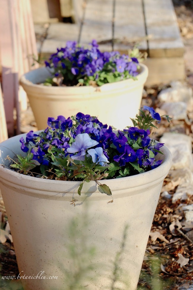 Winter blooming pansies and violas are beautiful in large clay pots