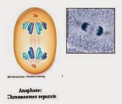anafase, kromatid bergerak ke kutub yang berlawanan