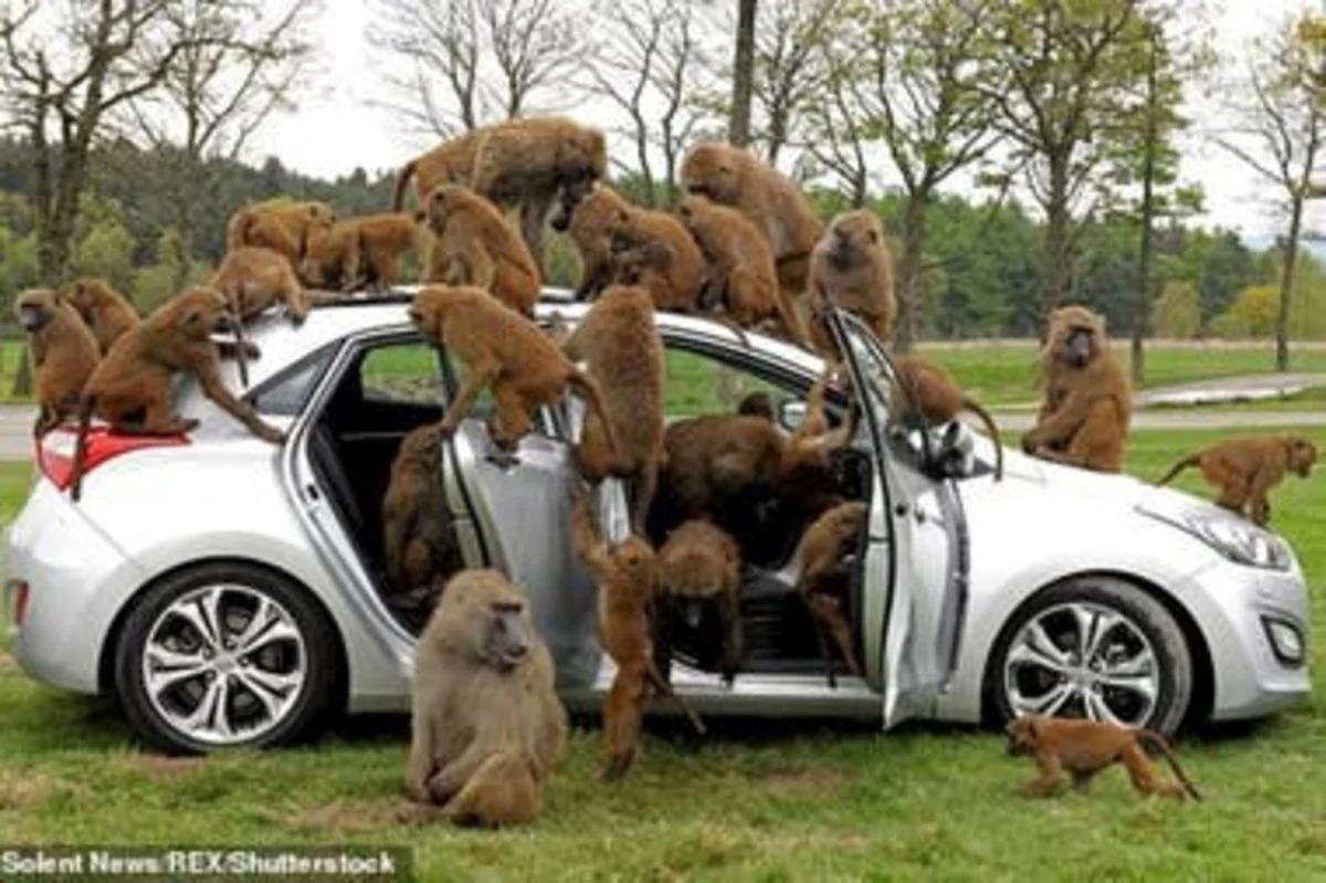 Monos sueltos con cuchillos meten miedo en un parque de Inglaterra