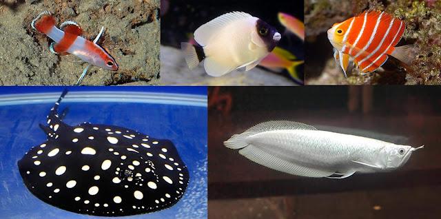 5 Daftar Ikan Termahal di Dunia