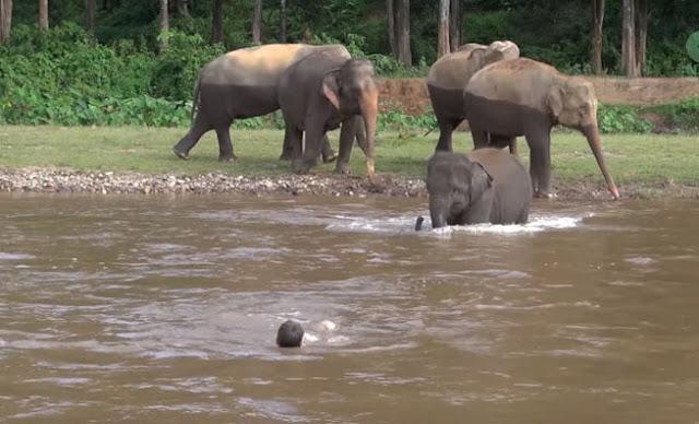 Φοβερό Βίντεο: Ελέφαντας μπήκε μέσα σε ποτάμι για να σώσει άνδρα που πνιγόταν! μην το χάσετε...