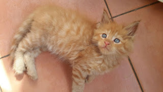Maine Coon kitten for amazing home