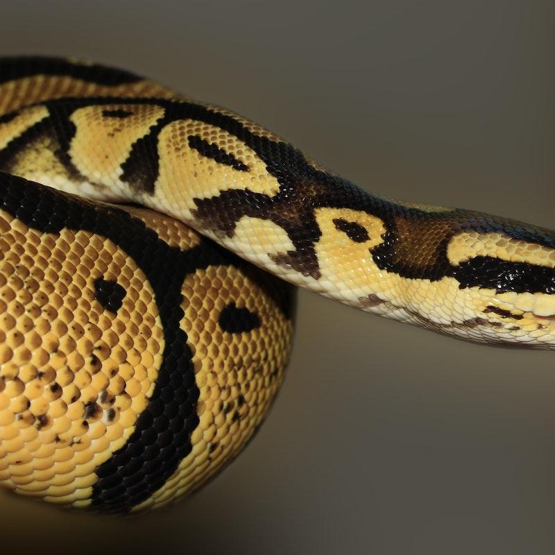Gambar ular python