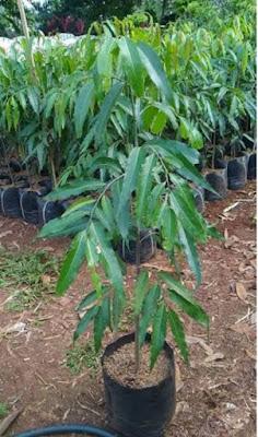 Jual Pohon Glodogan Tiang di Bekasi - Tukang Rumput Bogor