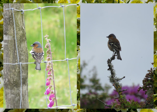 Cycling the Great Western Greenway - County Mayo, Ireland - Chaffinches