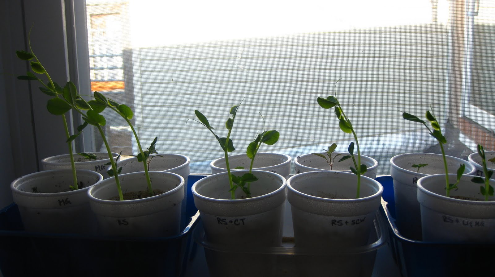 Charm City Balcony Garden Fertilizer Experiment Update