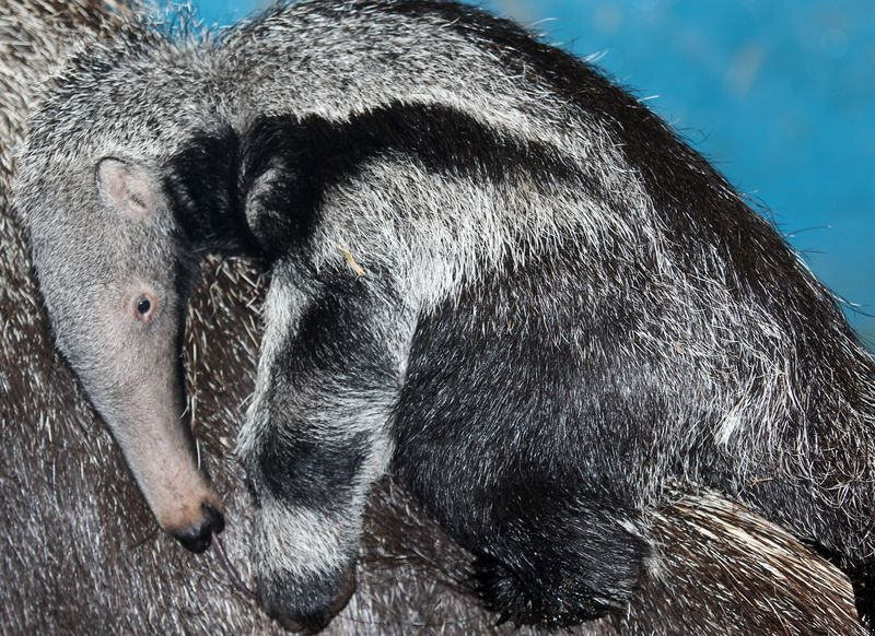 Baby Animals: Anteater Pup 7