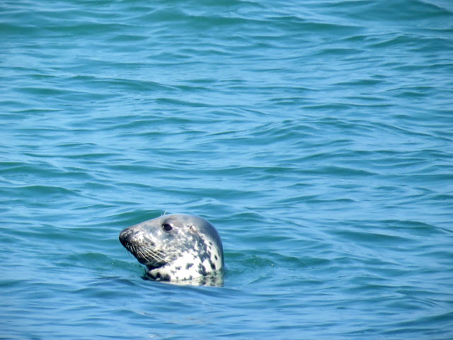Day trip to Ireland's Eye Island - seal swimming