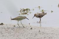 Stilt Sandpipers in courtship – Estero Llano State Park, TX – Sept. 21, 2015 – HarmonyonPlanetEarth