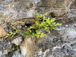 Asplenium ruta-muraria on a wall in La Rocca, Bergamo.