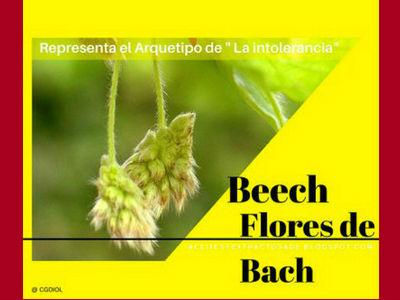 Beech, Flores de Bach indicado para personas intolerantes e insatisfechas