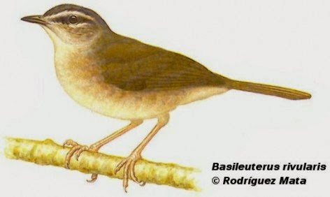 Neotropical river Warbler