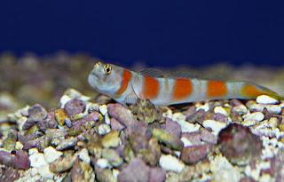 Jenis Ikan Hias Air Laut Watchman Gobies