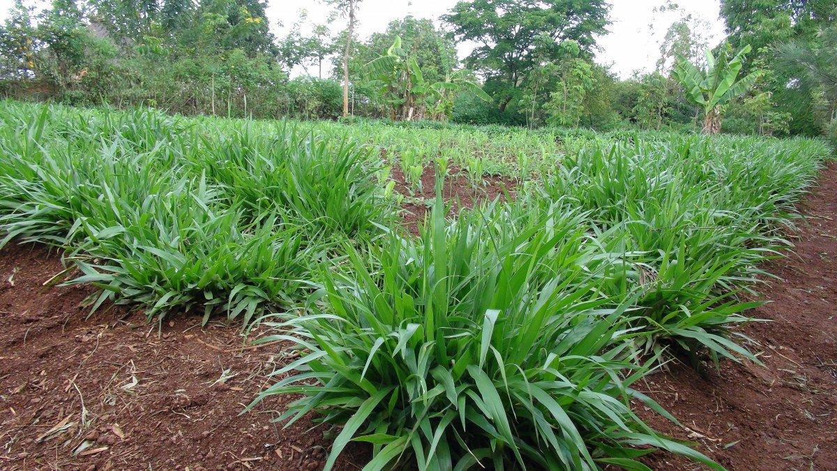 Napier grass farming