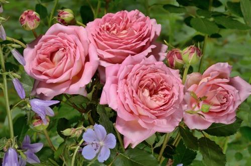 Jubilee Celebration  роза сорт фото