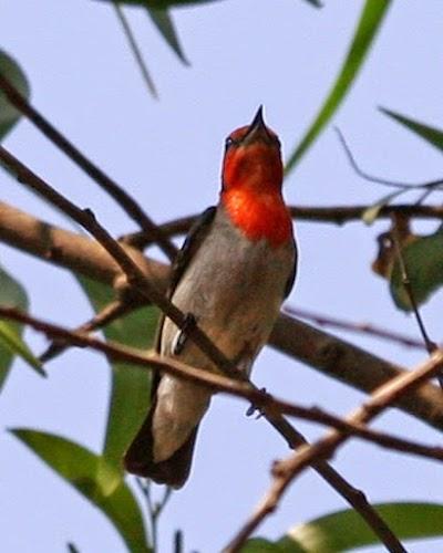 Cara Jitu Merawat Burung Cabe - Cabean atau Baret Merah Muda Hutan