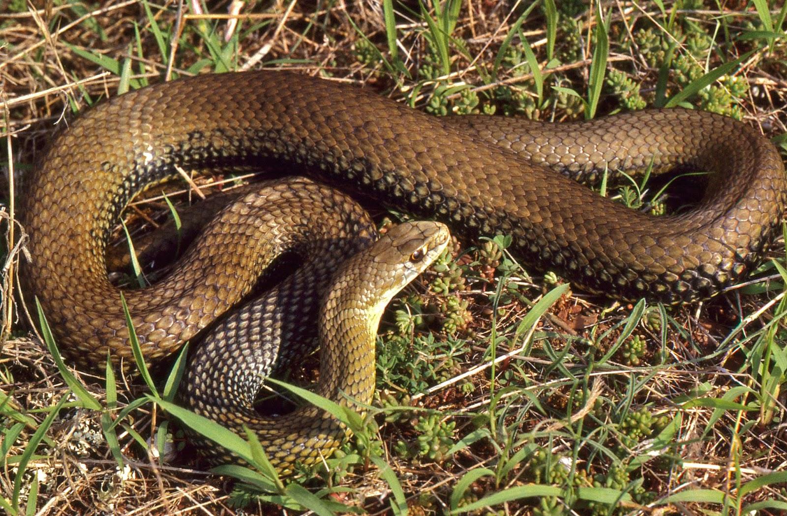 Cobras | Serpentes