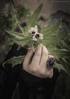 Hyoscyamus Niger, Black Henbane, Stinking Nightshade, Beleño Negro, Herba Queixalera, Solanaceae
