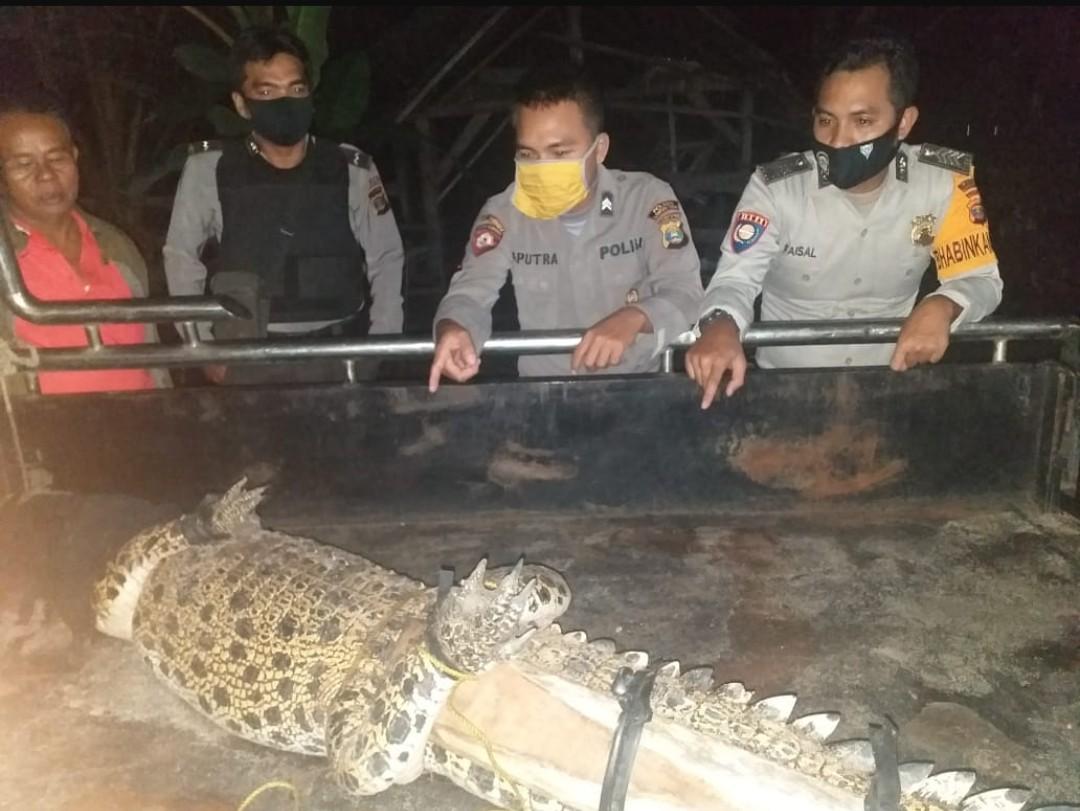 Ditemukan di Kolam Pemancingan, Buaya Sepanjang 2 Meter Diamankan Polsek Pasir Sakti.