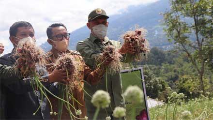 Panen Perdana Bawang Varietas Unggul Batu Ijo di Pandai Sikek