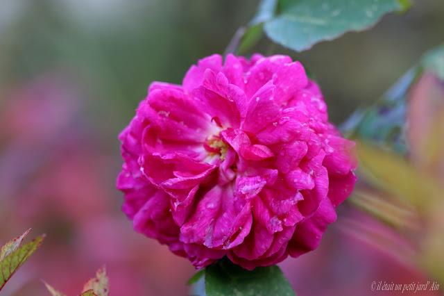 rose de recht rosier remontant