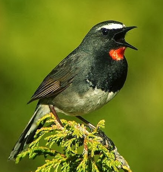 White tailed rubythroat/himalayan rubythroat mp3
