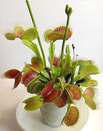 Tumbuhan Venus : tumbuhan, venus, Tumbuhan, Venus, Gemar, Makan, Serangga, Pendidikan, Biologi