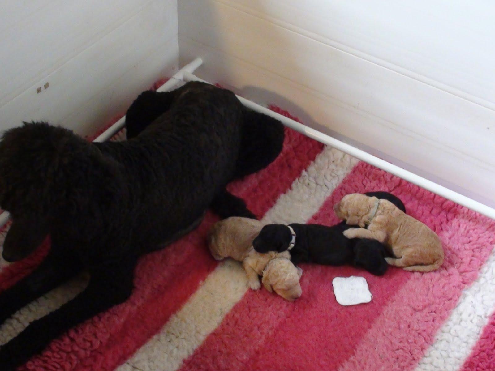 Brock-o-Dale Rare Breeds and Wywylwynd Standard Poodles: Home