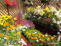 Multicolor flower displays, flower show - Kyoto Botanical Gardens, Japan