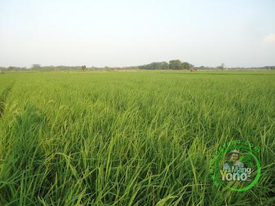 FOTO  2 :  Tanaman Padi NAZWA Umur 51 HST di Sawah Rawa Sudah Keluar Bunga   80 HST Panen