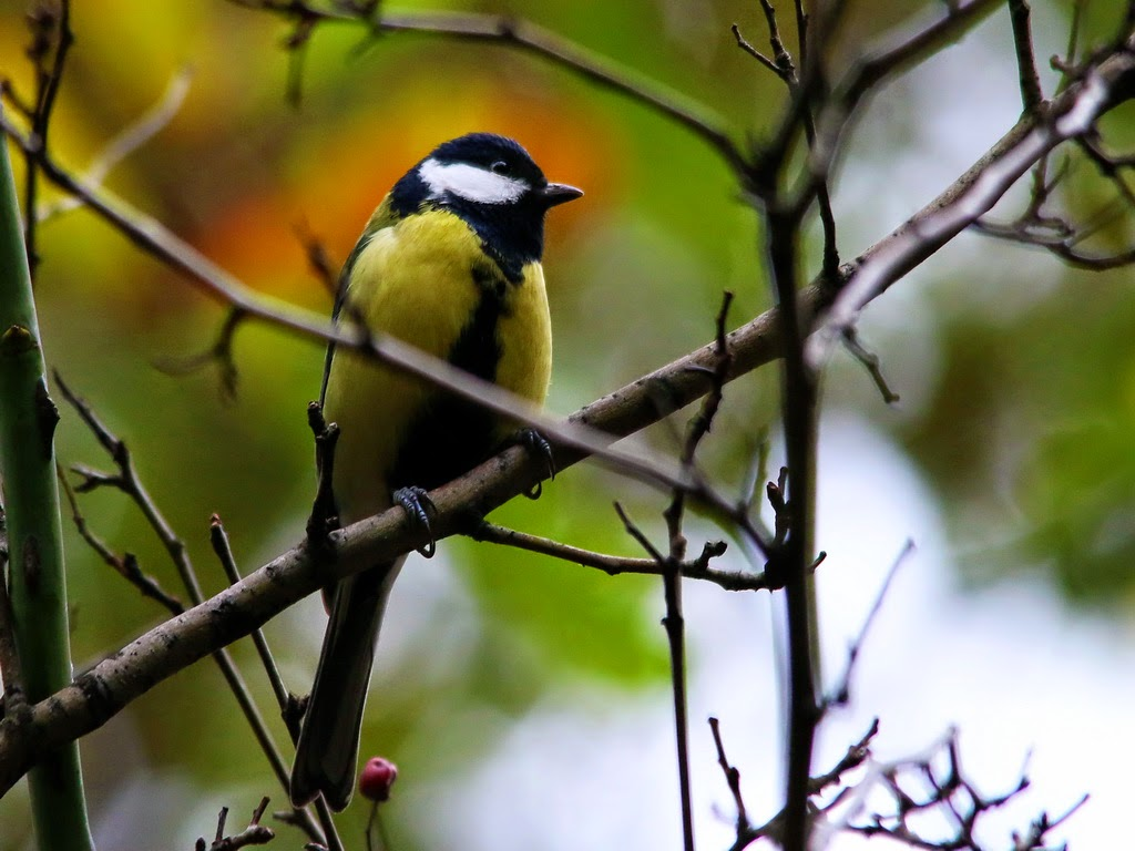 the great tit, parus major