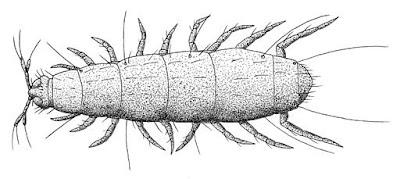 Pobladores del suelo: paurópoda