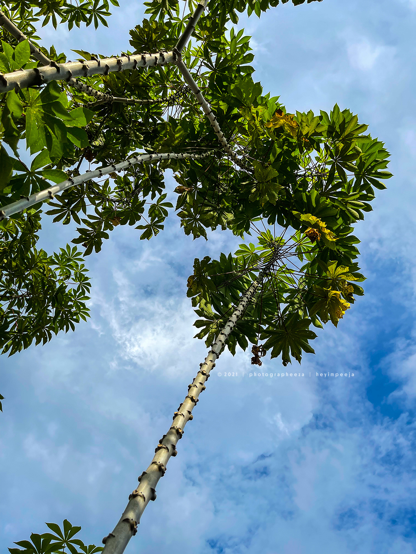 Pokok Ubi Kayu