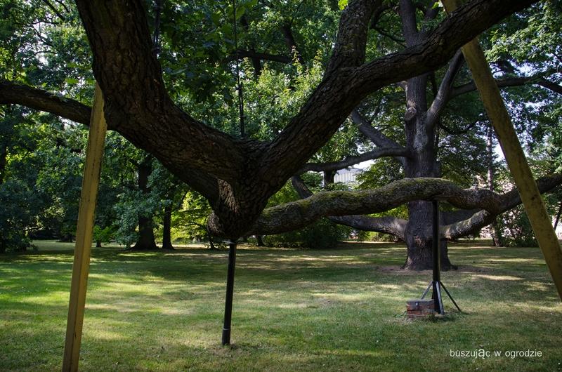 duże drzewo, dąb szypułkowy, pomnik przyrody