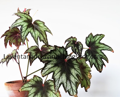 Begonia-little-brother-montgomery
