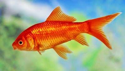 Makanan Ikan Komet
