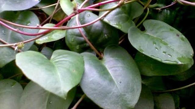 manfaat daun binahong untuk wajah bopeng