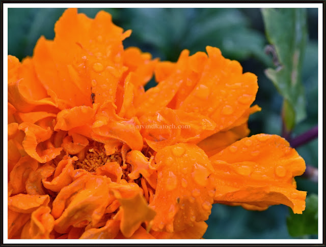 Beauty, distorted, beauty, marigold, yellow flower