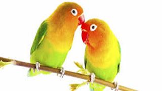 gambar lovebird gacor
