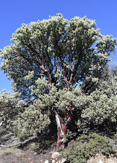 Lovely manzanita tree, St. Joseph's Hill Open Space Preserve, Los Gatos, California