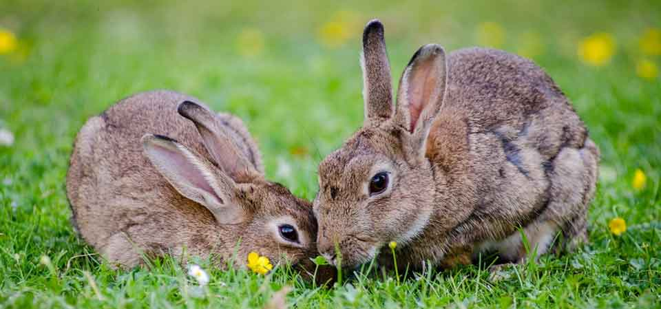 kiat beternak kelinci