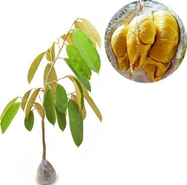 Tanaman Buah Durian Musangking Salatiga