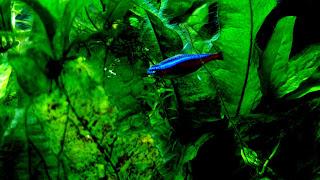 Cardinal Tetra Fish 4K HD Wallpaper