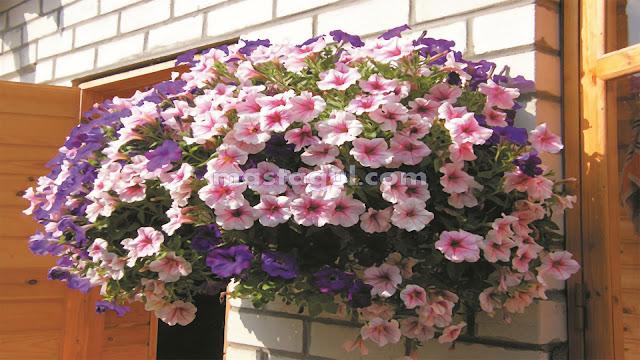 Jenis Tanaman Bunga Hias Pot Gantung Outdoor di Teras Rumah Tahan Panas Matahari
