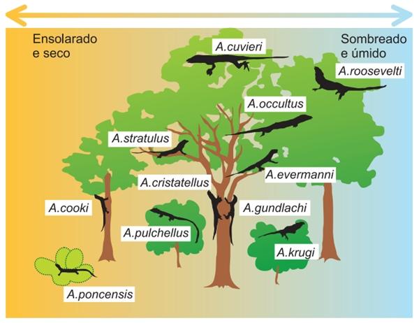 (FGV-SP 2020) A figura mostra onze espécies de lagartos do gênero Anolis encontradas na ilha de Porto Rico.