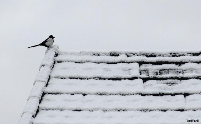 Une pie sur le toit enneigé