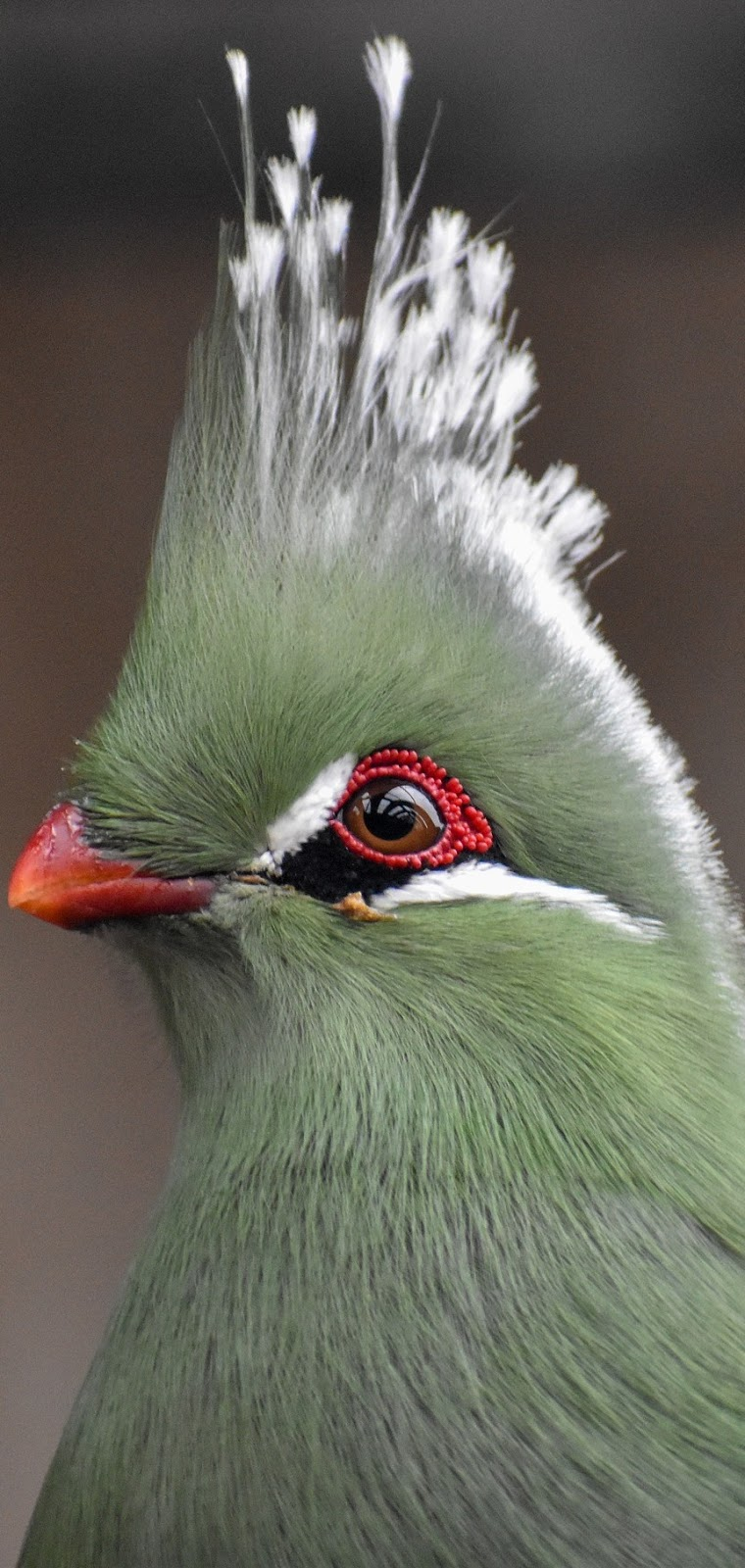 Guinea turaco bird up close