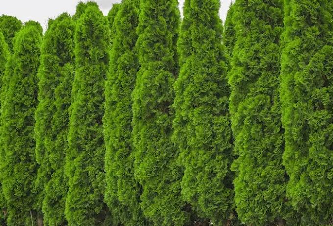 Holmstrup Arborvitae Growth Rate, Pruning, Spacing